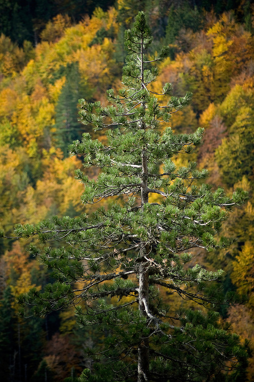Greece, Pindos Mountains, Pindos NP, Valia Calda, Pine tree with beeches in background