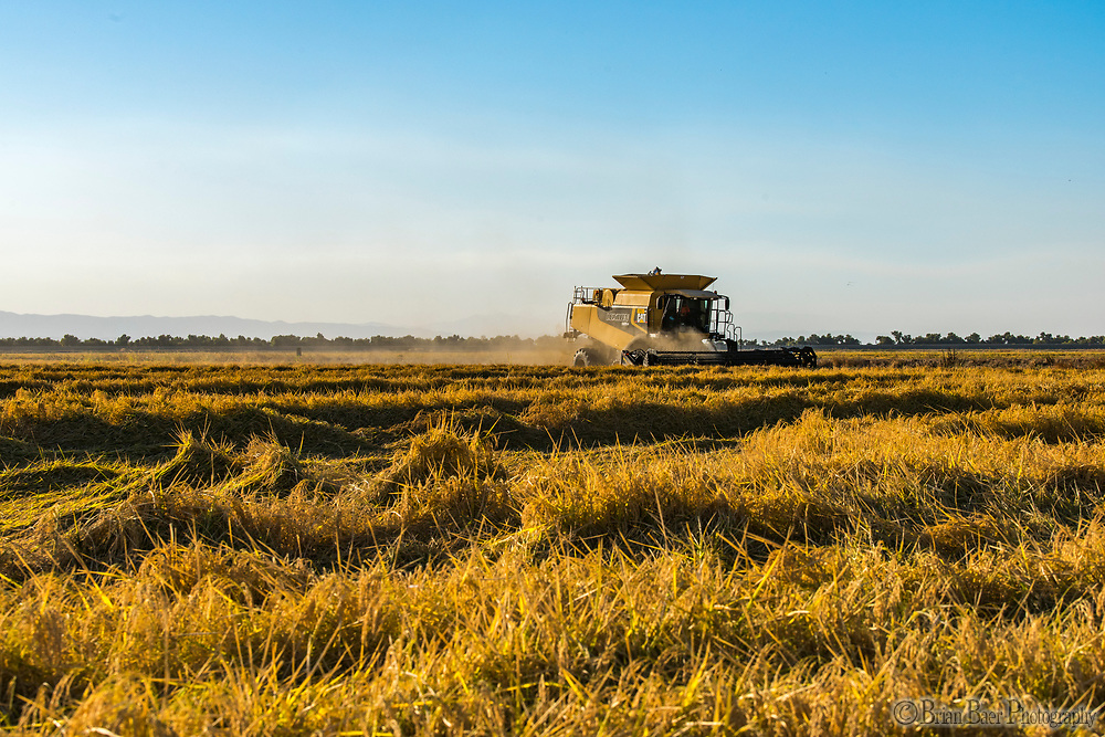 Doherty Farms, Yolo County Line Rd, Arbuckle, CA 95912, Wednesday, October 4, 2017.<br /> Photo Brian Baer