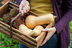 Harvesting butternut squash and lettuce into a wooden trug