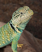 Collared lizard on rock<br /> Crotaphytis collaris<br /> Midwest US (controlled conditions)