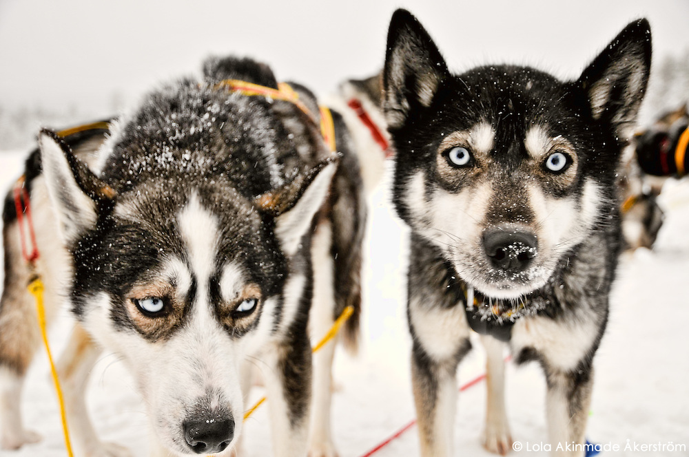 Dogsledding in Jokkmokk, Northern Sweden
