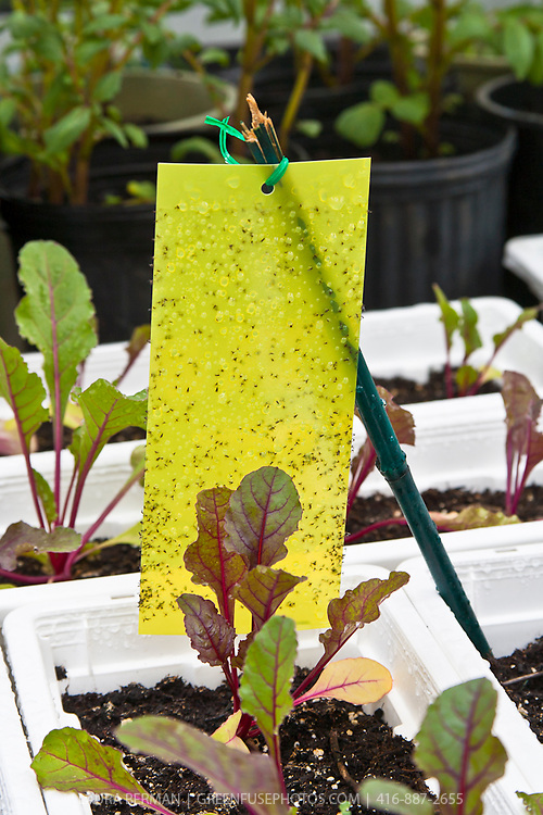 Yellow sticky card insect traps  protect young chard plants growing in containers.