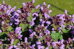 Paarse dovenetel, Lamium purpureum