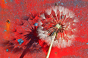 seeding dandelion and shadow against chipping paint.