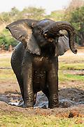 An African elephant shakes while taking a mud bath, Chobe River, Kasane, Botswana.