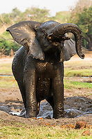 An African elephant shakes while taking a mud bath, Chobe River, Kasane, Botswana.