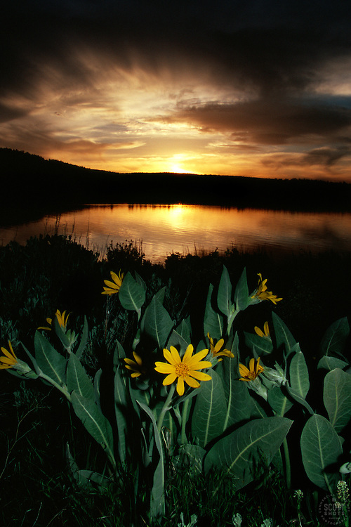 &quot;Mule Ears at Boca Reservoir&quot;- These Mule Ears flowers and sunset were photographed at Boca Reservoir, CA. Shot from the east side, near Boca Dam, looking west.<br />
