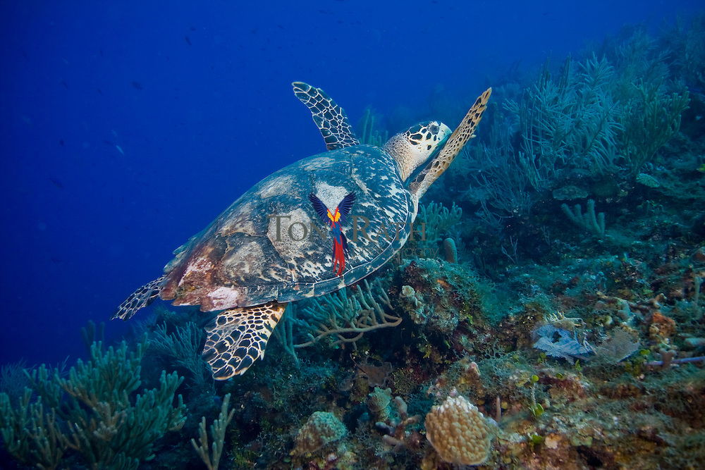 Lone Hawksbill Turtle, (Eretmochelys imbricata) swimming above coral reef, Belize Barrier Reef, Belize