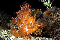 Paddle-Flap Scorpionfish blends in with fronds of algae<br /> <br /> Shot in Indonesia