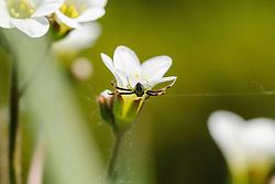 Knolsteenbreek, Saxifraga granulata