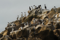 Chatham Shag (Phalacrocorax onslowi) is a critically endangered species, endemic to Chatham Islands, New Zealand