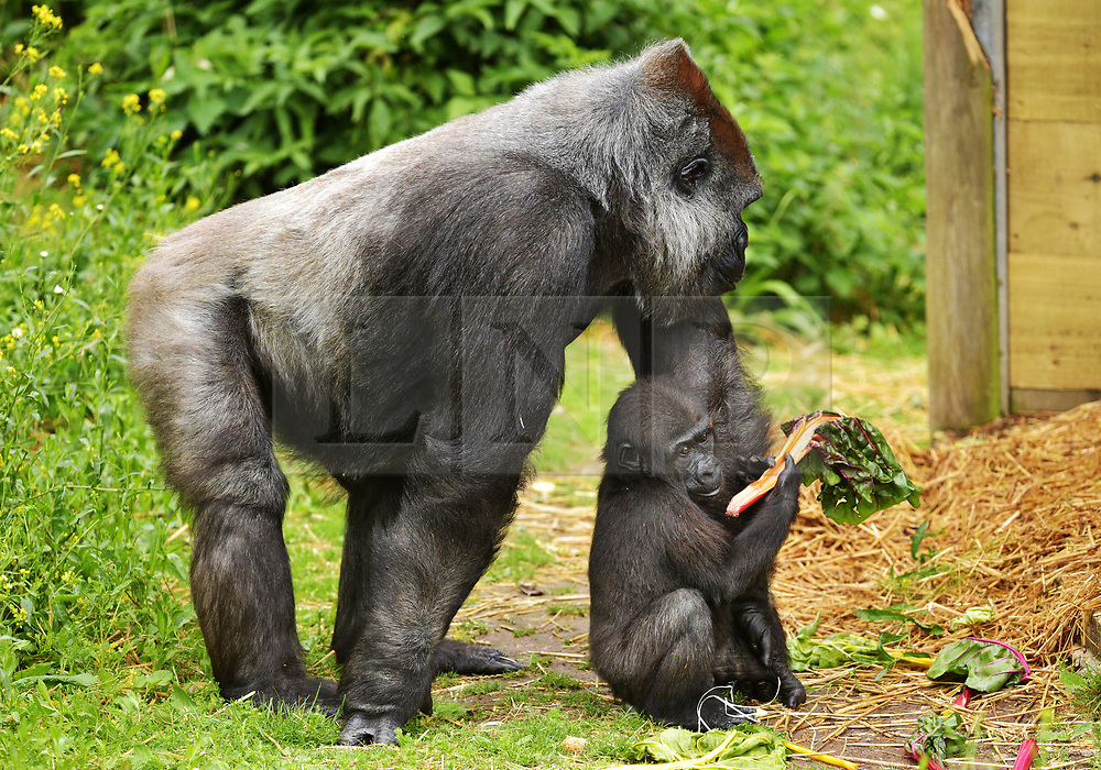 "© Licensed to London News Pictures.  30/05/2017; Bristol, UK. Former baby gorilla AFIA (right), who was born last year and hand reared by keepers is now fully integrated into the gorilla group. Keepers at Bristol Zoo Gardens have revealed that their new baby gorilla is a girl. The little Western lowland gorilla was born in the early hours of Saturday, April 22nd to first-time mum Touni and silverback gorilla dad, Jock. Touni has been at the Zoo since September 2015 after coming from La Vallée des Singes zoo in France, as a breeding partner for Jock. The bright-eyed five week old baby is getting stronger every day and now needs a name. Bristol Zoo's curator of mammals, Lynsey Bugg, said: ""Our little lowland gorilla is doing incredibly well - developing exactly as she should, feeding well and putting on plenty of weight. Now we would like to ask the public to help us choose a name for her.""  The Zoo is asking members of the public to vote on their favourite from a choice of three names, all inspired by the name 'Daisy'. She added: ""We would like to name her in memory of the baby daughter of one of our colleagues who was born four years ago on the same day as the baby gorilla. Daisy was stillborn and we thought this would be a lovely tribute to her."" Keepers have chosen a shortlist of names for the baby gorilla – Fleur, Ayana and Undama. Fleur is French for flower, chosen because Touni is French. Ayana means 'pretty flower' in Ethiopian, and Undama means 'beautiful flower' in Swahili. Voting will open later today (Tuesday 30 May) on the Bristol Zoo Facebook page. After Daisy was born, her parents, who are both members of staff at Bristol Zoo, received support from SANDS (the stillborn and neonatal death charity). For more information about SANDS, visit www.sands.org.uk/ or phone 0808 164 3331. The new baby takes the number of gorillas living at Bristol Zoo to eight. The refurbished and extended Gorilla House opened in 2013 and is able to accom"