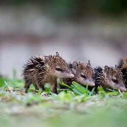 famille de bébés hérissons, Le Tangue ou Hérisson malgache, Tenrec ecaudatus