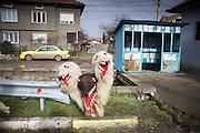 Jan. 15, 2011 -- Kukeri, babugeri, survakari -- Balkan traditions.