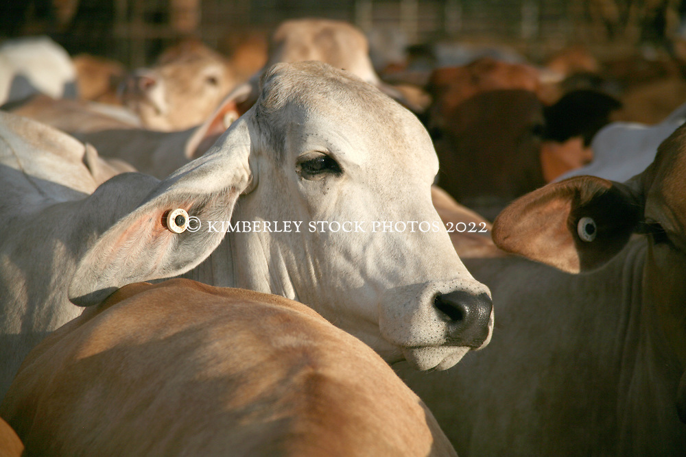 Brahman cattle wait at the Broome Sale yards, awaiting live shipment to Asia and the Middle East.