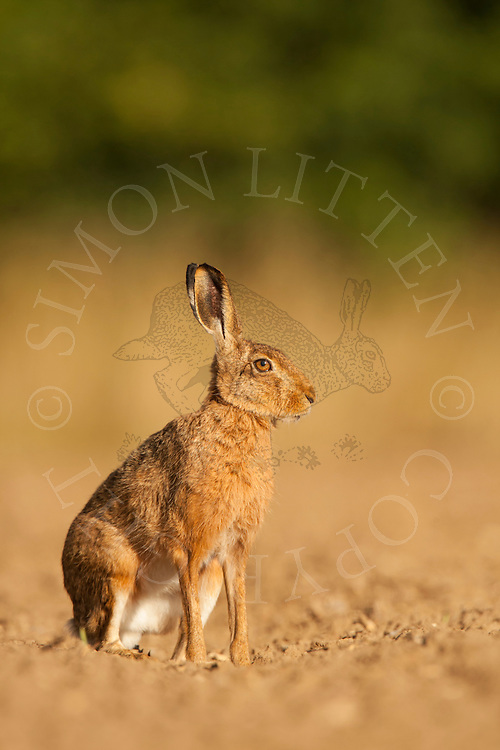 European Hare (Lepus europaeus) adult at rest in ploughed field, Norfolk, UK.