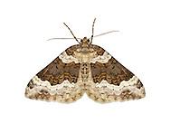 70.063 (1740)<br /> Galium Carpet - Epirrhoe galiata