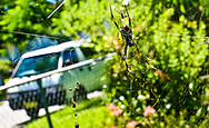 A large, scary spider hangs in a spider-web in a garden in Brisbane, Australia. In the background, a white Toyota TownAce campervan is parked on the road