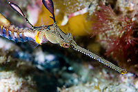 Weedy Sea Dragon..Shot in Australia