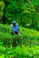 Women picking tea, Udapalatha, Central Province, Sri Lanka.