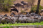 A herd of Common Plains Zebra (Grant's) drinking,  Grumeti, Tanzania