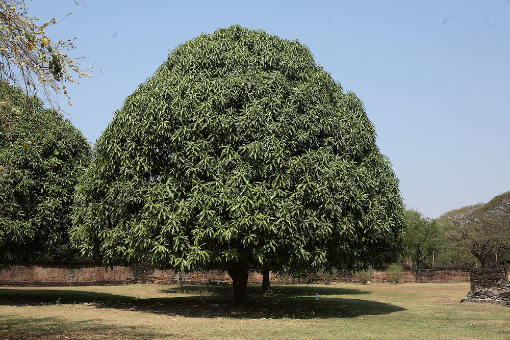 Magnificent and enormous ficus at Sukothai, Thailand, dominates part of the grounds.  Its rounded crown is nearly perfectly symmetrical.