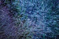 Bramblings (Fringilla montifringilla) fenyőpinty<br /> L&ouml;dersdorf, Austria 07.02.2009