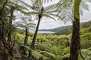 View of assorted tree ferns along the Abel Tasman Coast Track hiking trail.