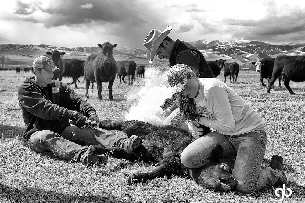 Here's a fact of American ranch life - cattle get branded.  I like this image because of the story it tells and now many other cattle are watching - including the calf's momma.