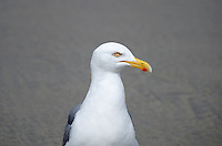 A skeptical-looking sea gull eyes the camera with disdain.