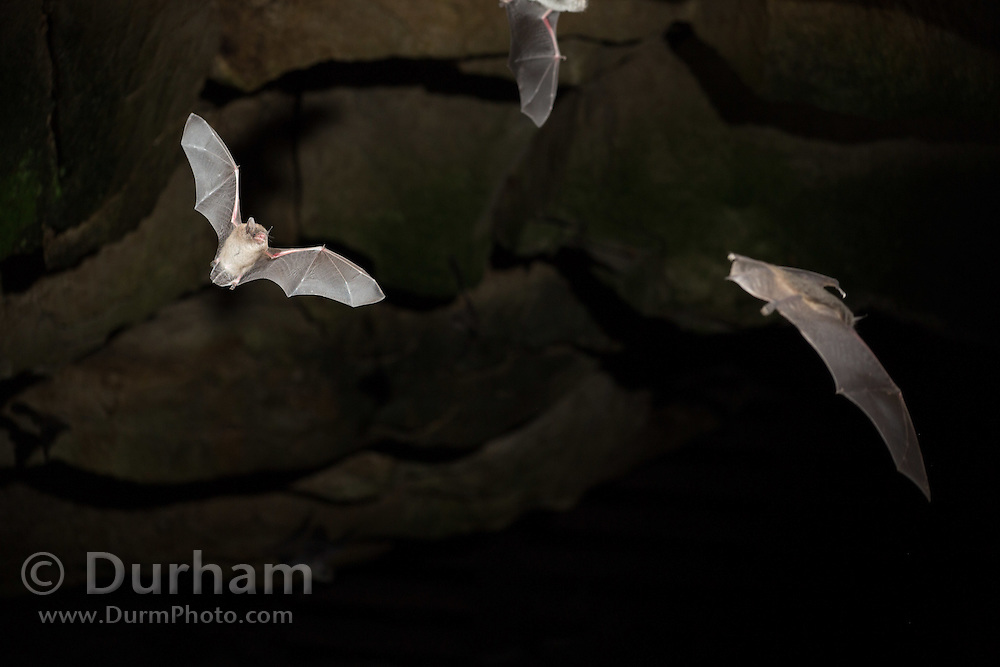 A little brown bat (Myotis lucifugus) exiting a cave in Mammoth Cave National Park, Kentucky. © Michael Durham.