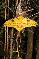 African Moon Moth on a branch, Magical Madagascar Photo Tour. Wildlife and Nature photography wall art.