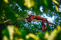 A red howler monkey enjoys a well-deserved nap in the Amazon Rain Forest, Tambopata National Reserve, Peru.