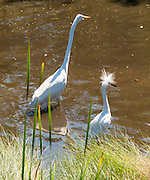 The Great Egret (Ardea alba) is also known as Great White Egret or Common Egret. Snowy Egrets (Egretta thula) are a smaller white heron. The Assateague Island is within Chincoteague National Wildlife Refuge, in the Atlantic Ocean off the coast of the Virginia Eastern Shore, USA, and can be reached by road from Chincoteague Island via a bridge over Assateague Channel.