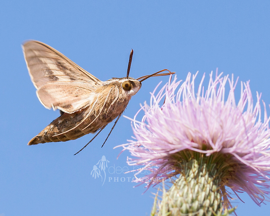 The White&ndash;lined Sphinx moth sips from a thistle.<br /> <br /> White&ndash;lined Sphinx moth (Hyles lineata)