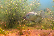 Black Crappie (Male on nest)<br />