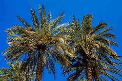 Palm trees in the gardens of the Bahia Palace in Marrakech, Morocco, North Africa<br /> <br /> <br /> (c) Andrew Wilson | Edinburgh Elite media
