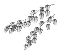 X-ray image of fetterbush flowers (Pieris floribunda, black on white) by Jim Wehtje, specialist in x-ray art and design images.