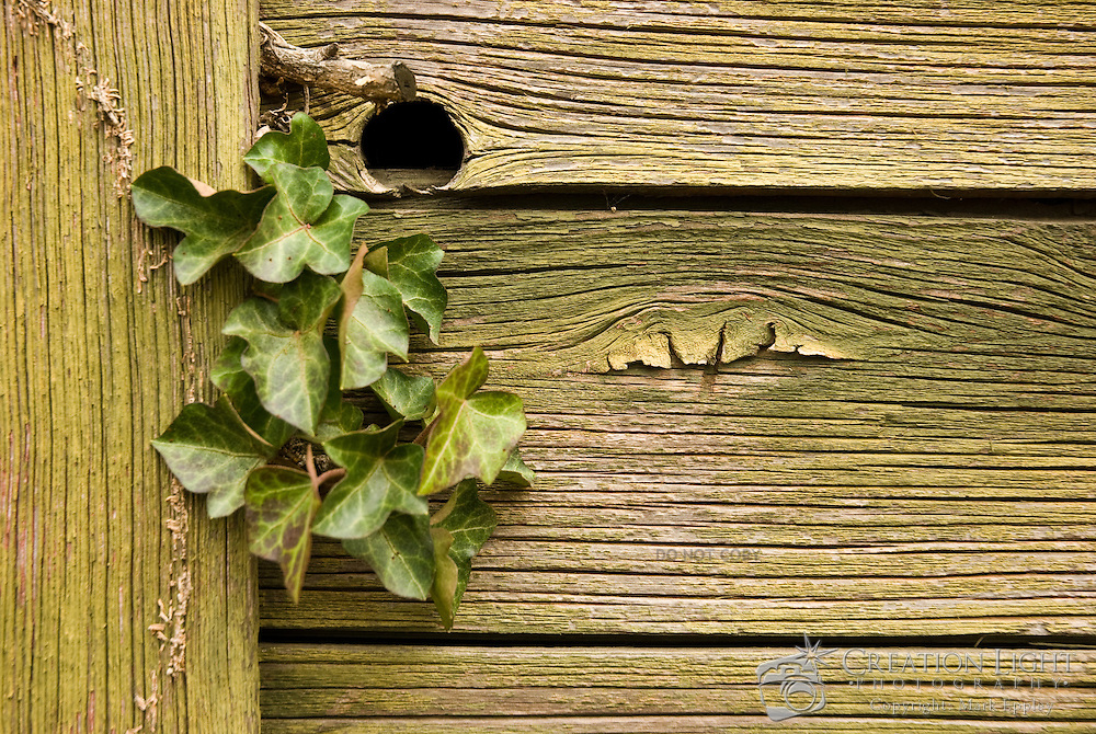 An ivy vine grows on an old green barn in Oregon. The growing vine provides a good balance visually with the old, weathered painted wood. The deep grain is clearly visible through the paint.