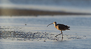 Long-Billed Curlew on the beach in the evening sun
