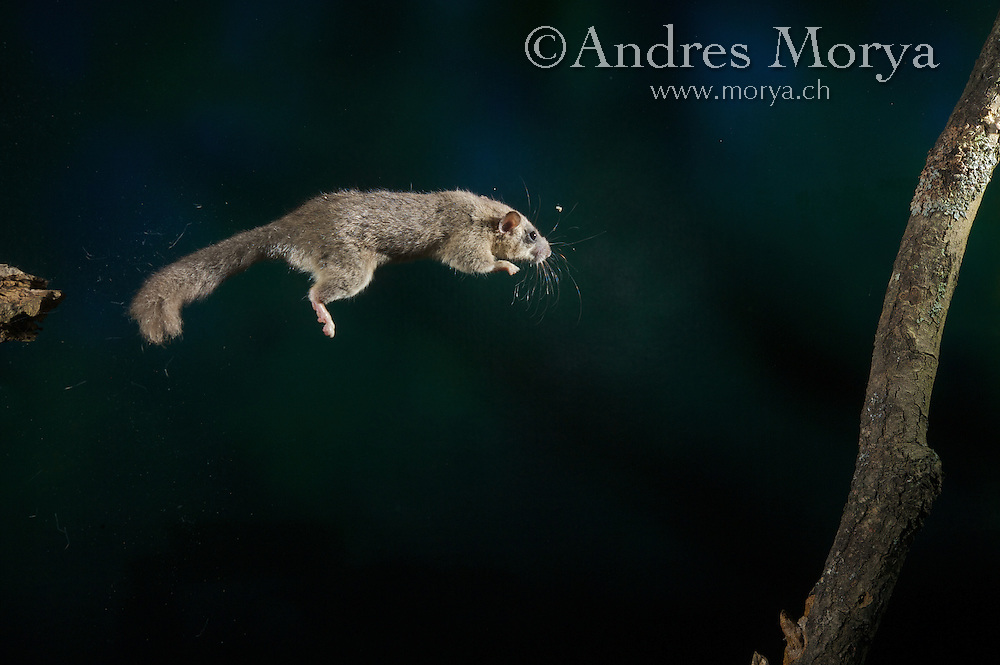 Edible Dormouse jumping (Glis Glis), Europe, High-Speed Nature Photography Image by Andres Morya