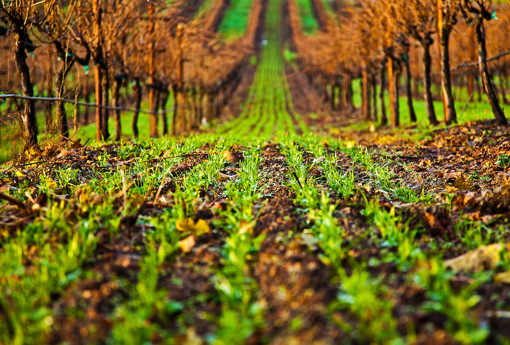 emerging cover crop in a Howell Mountain vineyard during the winter months. Napa Valley.