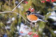01382-04919 American Robin (Turdus migratorius) eating berry of American Cranberry Viburnum (Viburnum trilobum) in winter, Marion Co., IL