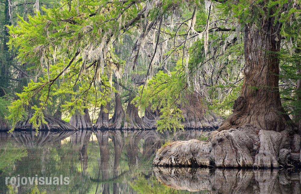 Sabinos o ahuehuetes (Taxodium mucronatum) en el río Tunal, cerca de El Saltito. Durango, México.