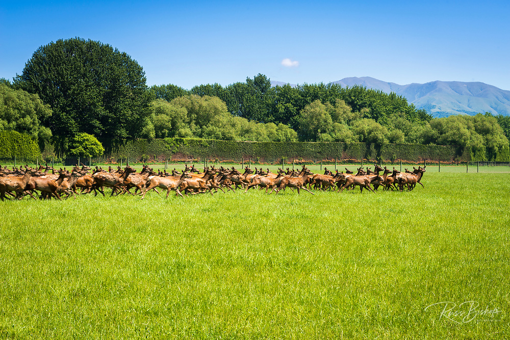 Deer at a deer farm, Canterbury, South Island, New Zealand