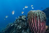 Caribbean barrel sponge - Eponge tonneau (Xestospongia muta), Bali island, Indonesia.