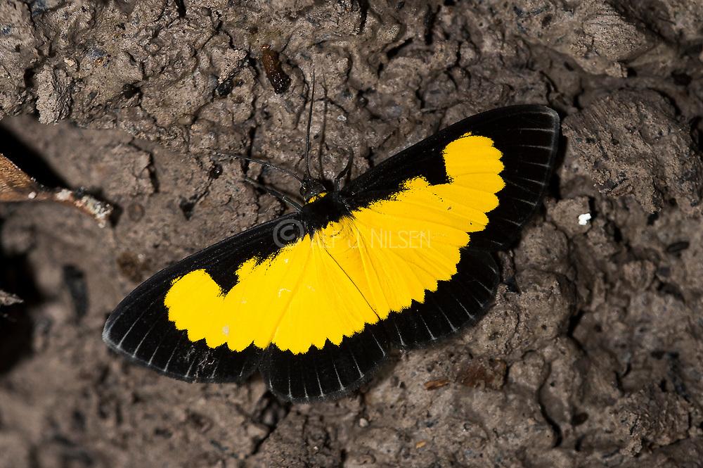 The beautifull moth Xanthiris flaveolata from the rainforest at Rio Cristalino, southern Amazon, Brazil.