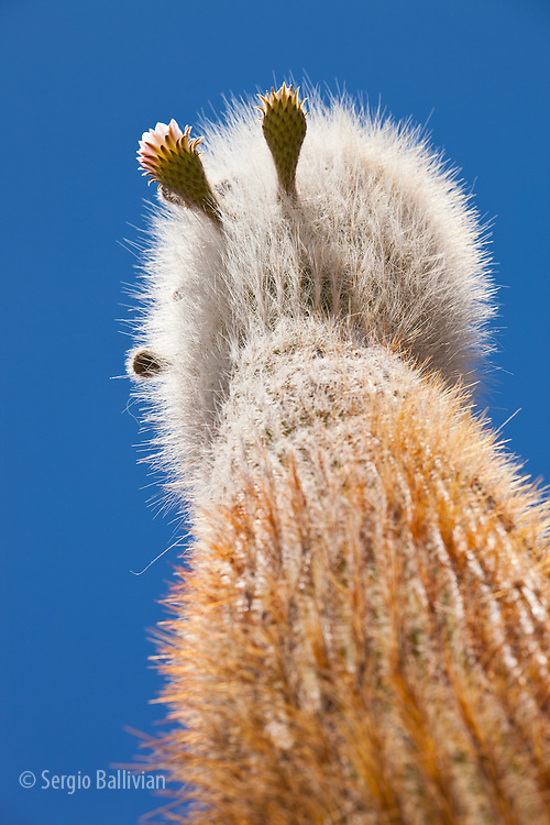 Details of native cactus species on the island of Incahuasi in the middle of the Salar de Uyuni in Bolivia's Altiplano.