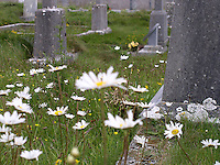Daisies in a graveyard