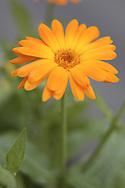 DEU, Germany, Marigold (Calendula officinalis).....DEU, Deutschland, Ringelblume (Calendula officinalis)...